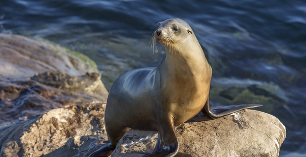 Sea lion, La Jolla, California