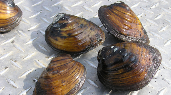 Sheepnose mussels