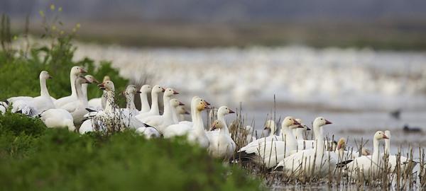 Snow geese at Merced National Wildlife Refuge