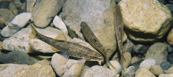 Speckled dace