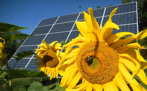 Sunflower and solar array