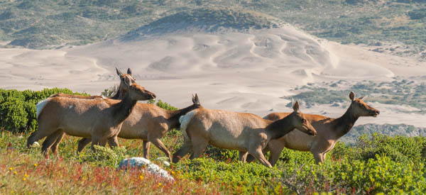 Tule elk at Point Reyes National Seashore