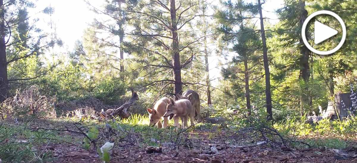 Wolf pups from the Lassen pack