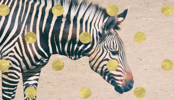 Zebra with spots