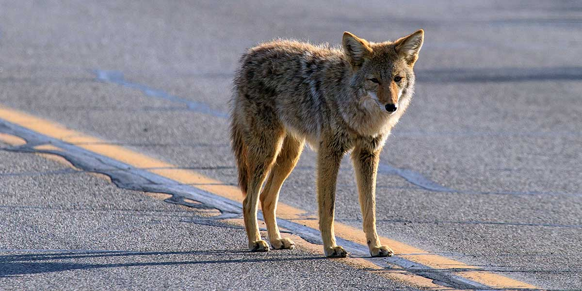 Coyote in the road in Death Valley National Park