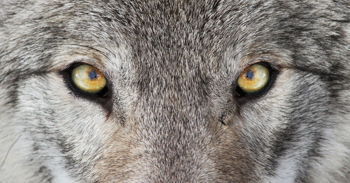 Take Action to Save Our Wolves