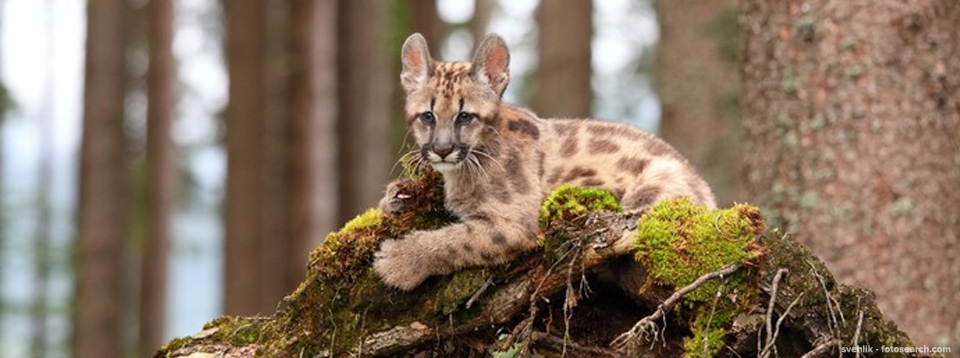 A young puma sitting among the trees