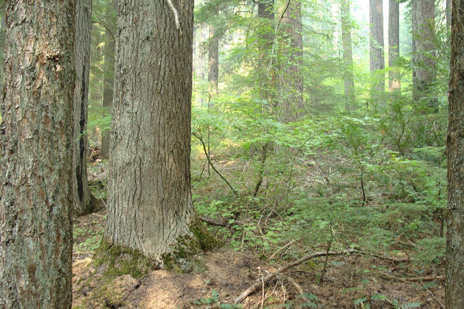 old growth forest slated for logging in Mt. Hood National Forest
