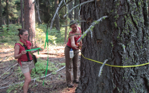 Bark Volunteers Measure Old Growth in the Crystal Clear project