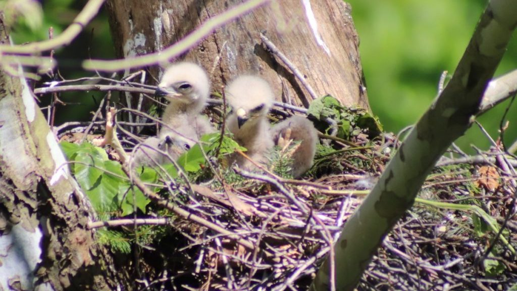 Three hawk chicks in a nest.