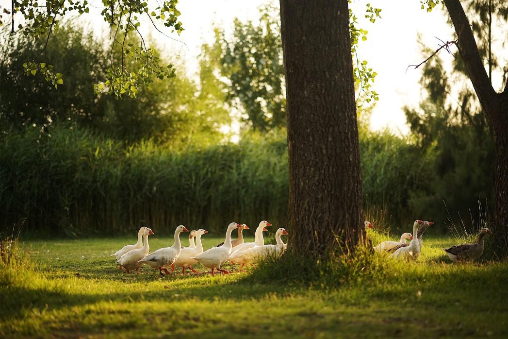 ducks walking around in the summer