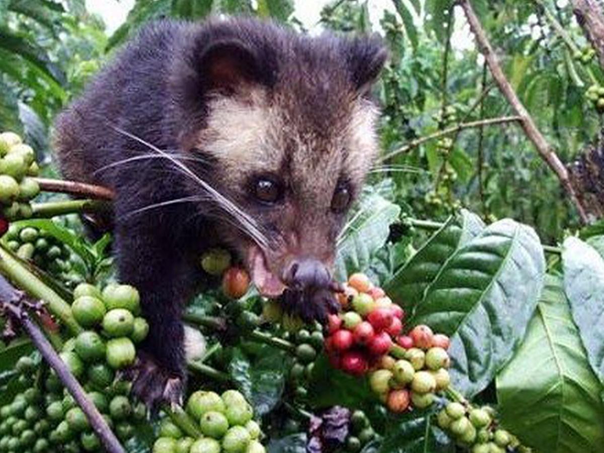 Walmart Animal Cruelty Stinks Stop Selling Cruel Civet Cat Poop Coffee