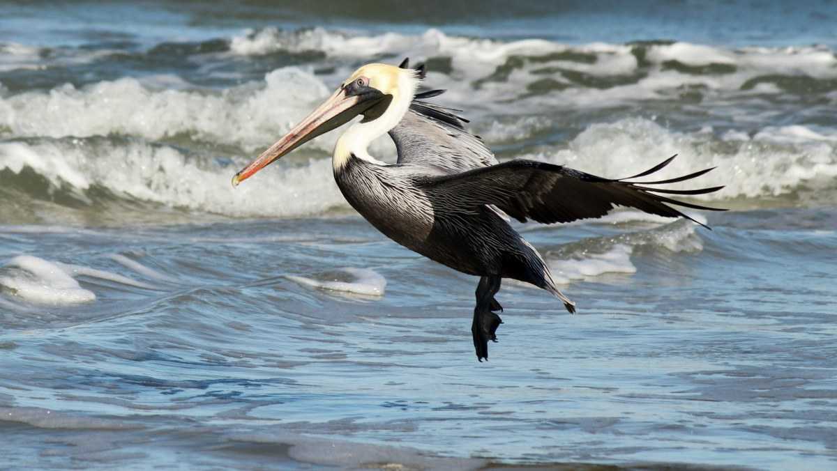 Audubon Action Alert: Tell Congress to Protect Seabirds