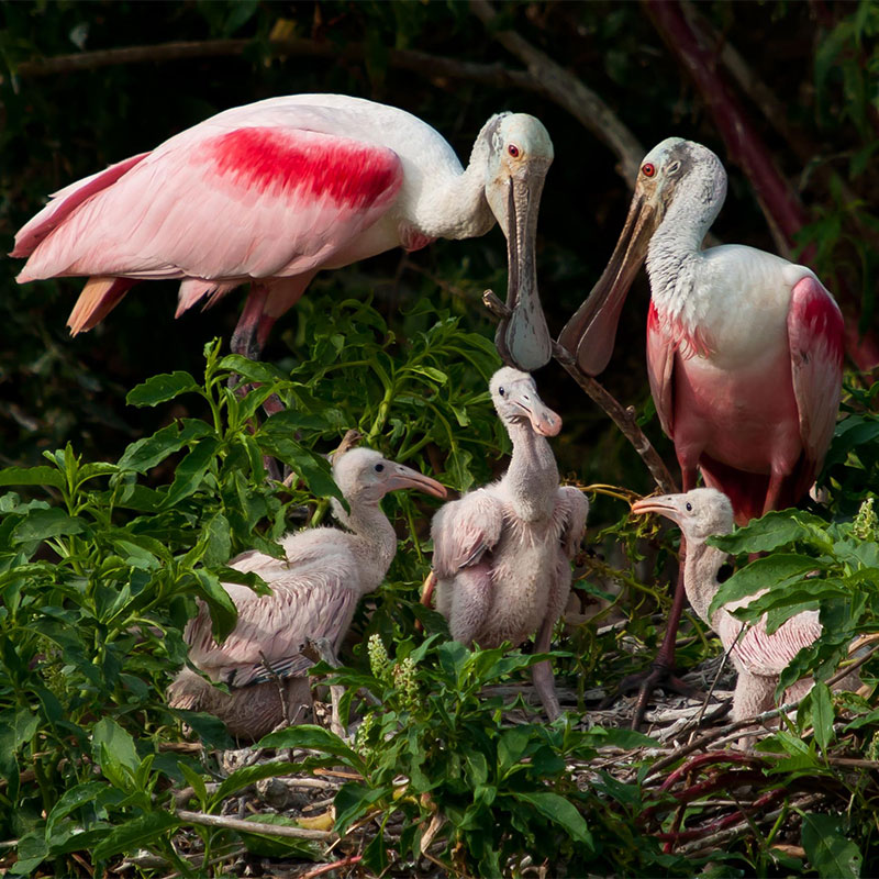 photo of Roseate Spoonbill nest.