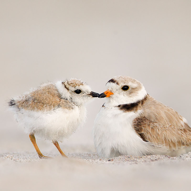 photo of Piping Plover.