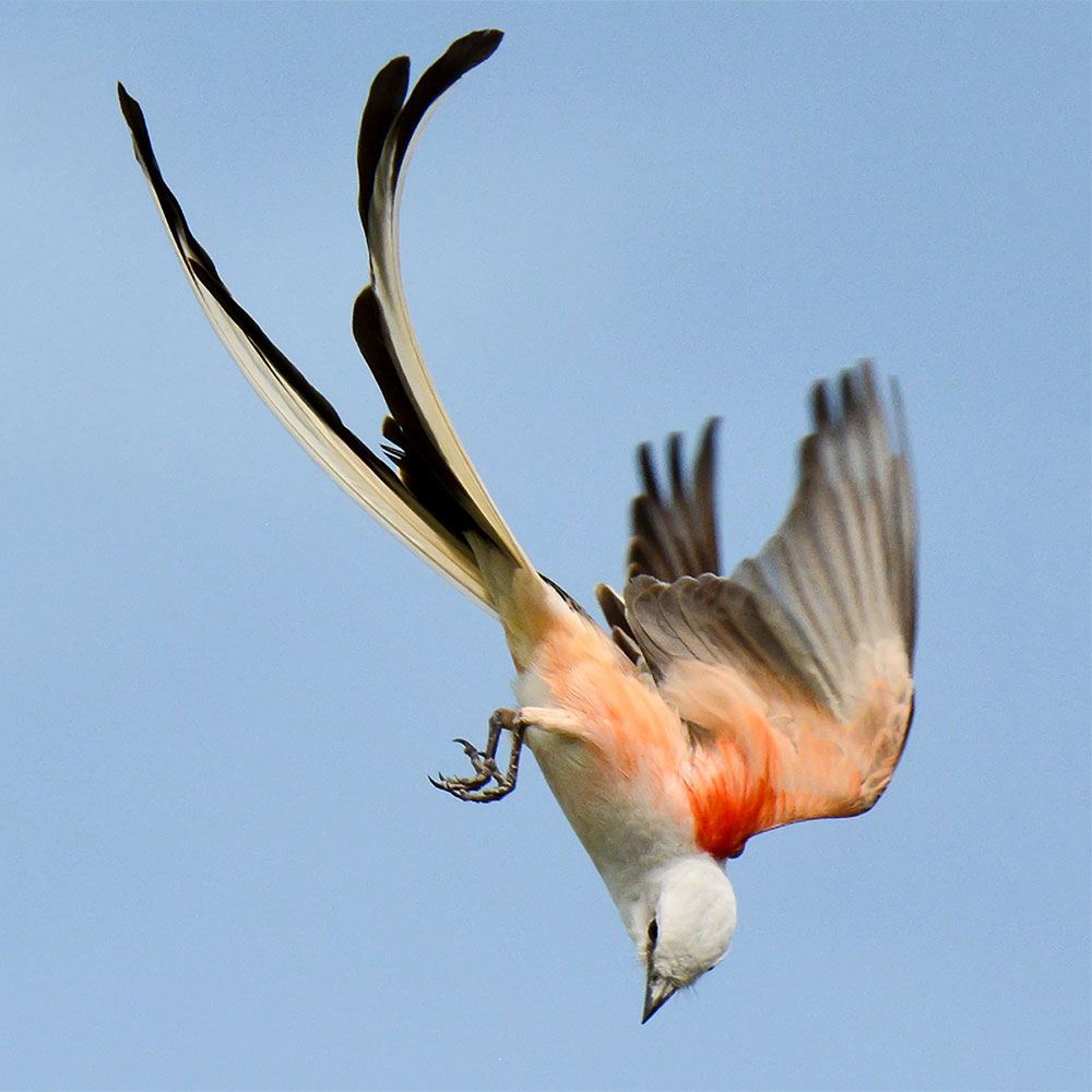 photo of Scissor-tailed Flycatcher.