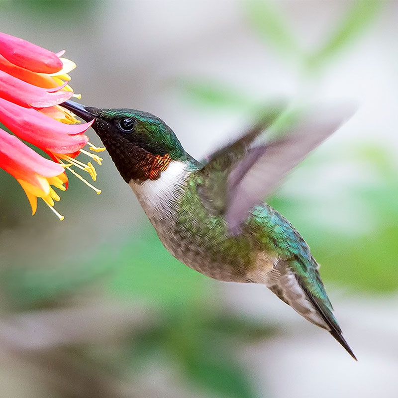 photo of Ruby-throated Hummingbird on Trumpet Honeysuckle.