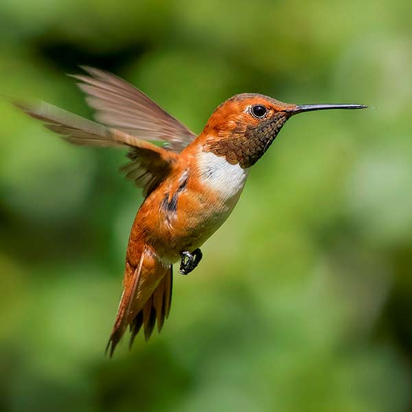 photo of Rufous Hummingbird.