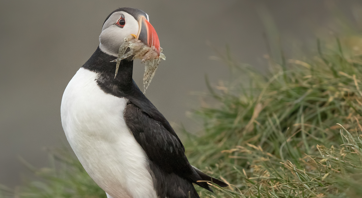 Action Alert: Protect Seabirds by Saving Forage Fish