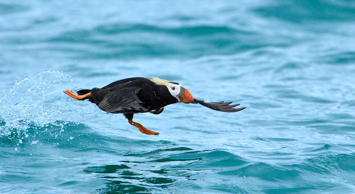 Audubon Alert: Stop the Toxic Pebble Mine from Destroying Alaska's Bristol Bay