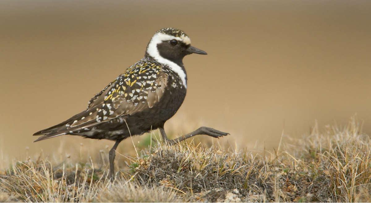 Audubon Action Alert: Permanently Protect the Arctic National Wildlife Refuge
