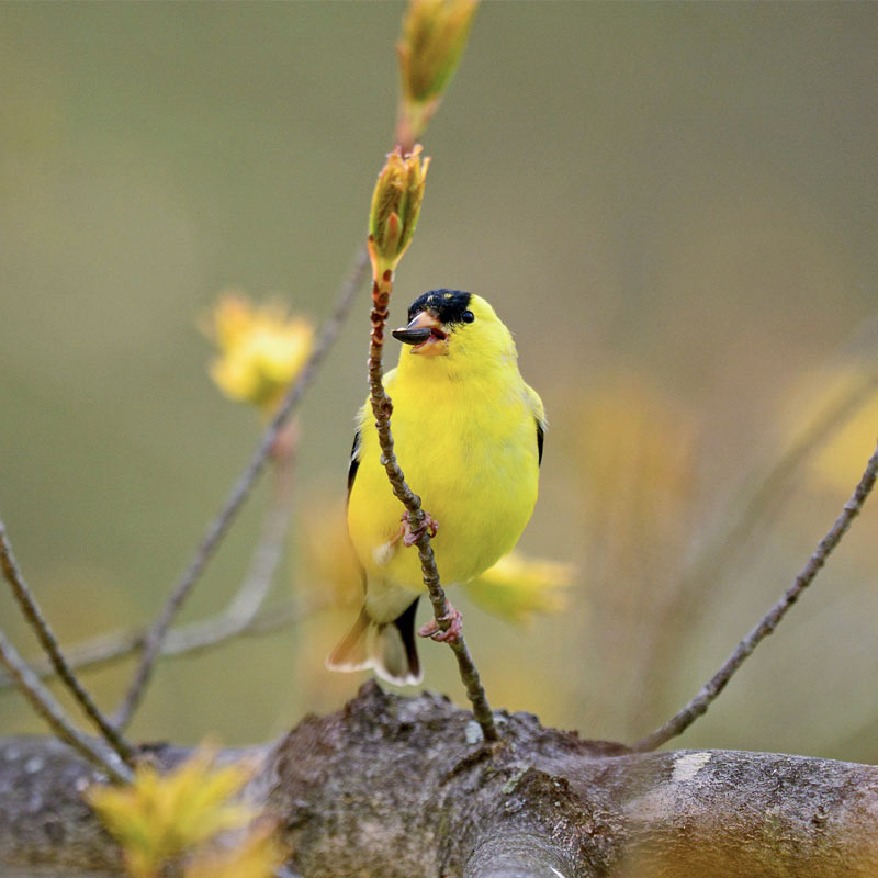 photo of American Goldfinch.