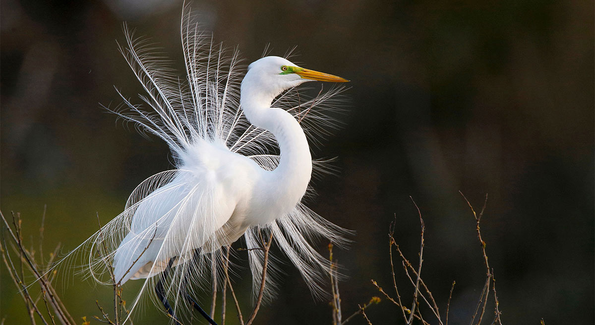 Audubon Action Alert: America's Bird Protections Under New Attack