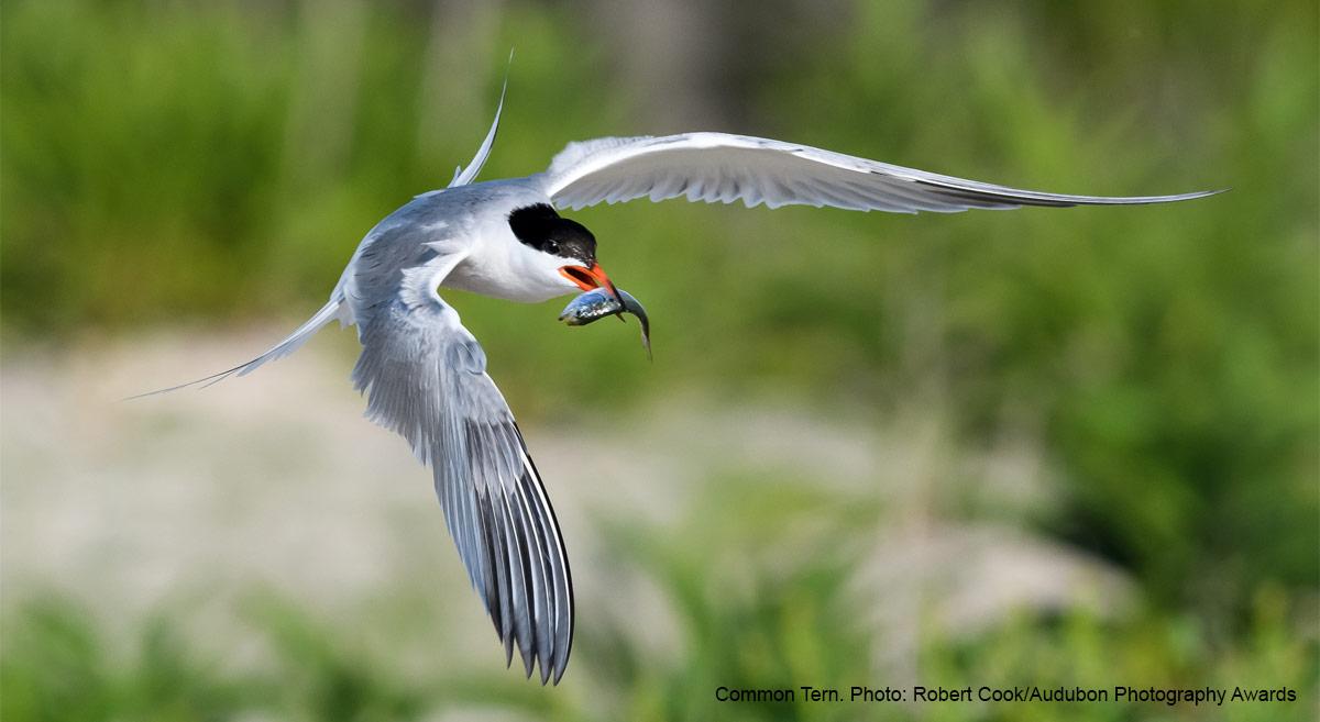 Audubon Webinar: Tiny Fish Play a Big Role in the Ocean Ecosystem