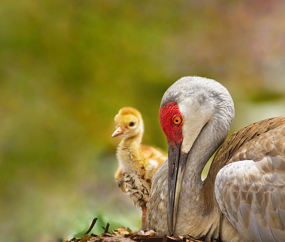 photo of Sandhill Crane with chick.