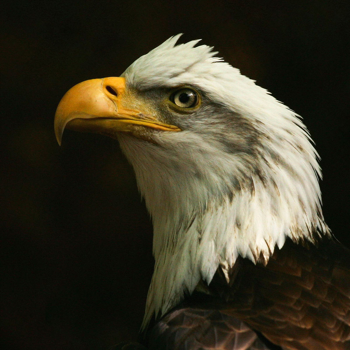photo of Bald Eagle.