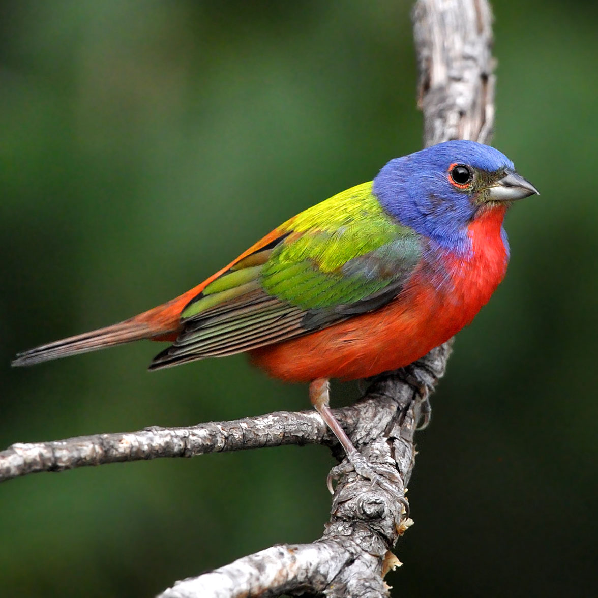 photo of Painted Bunting.