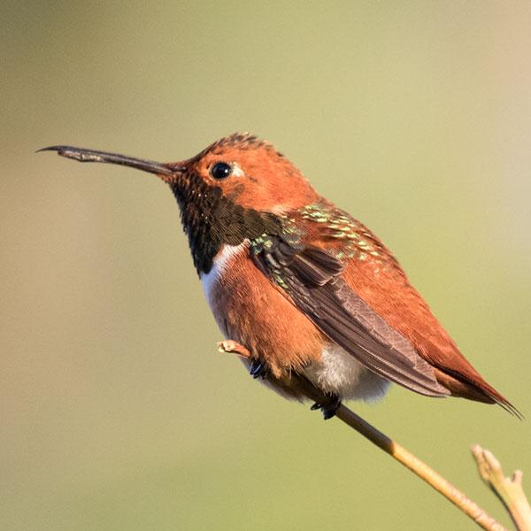 photo of Rufous Hummingbird.