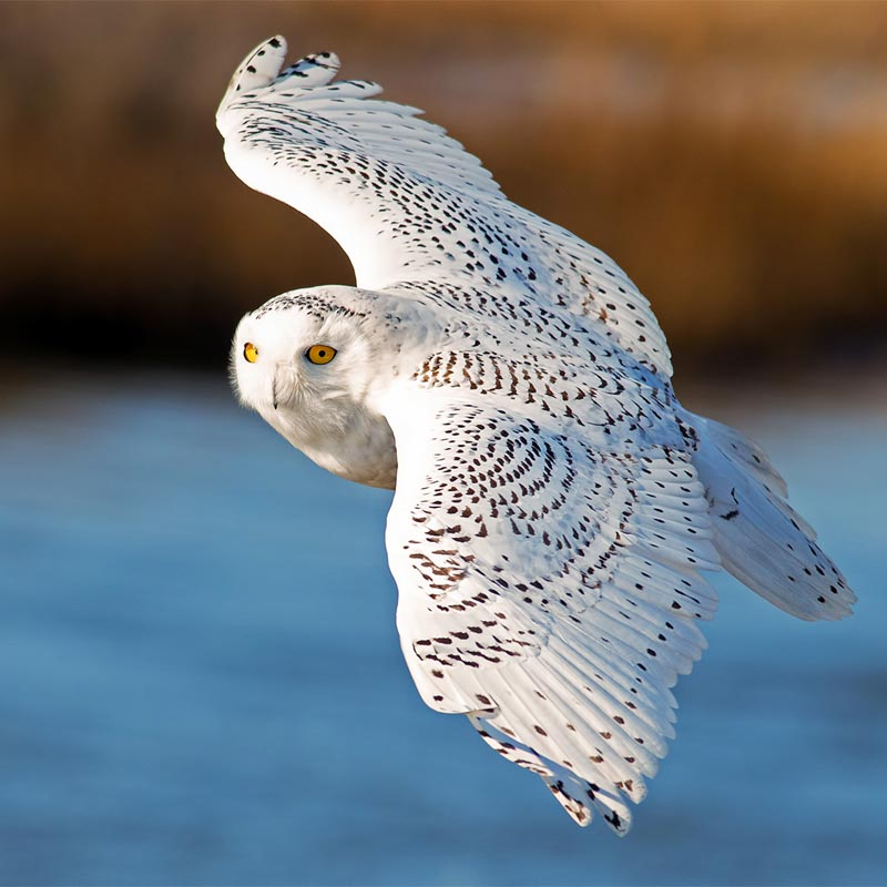 photo of Snowy Owl.