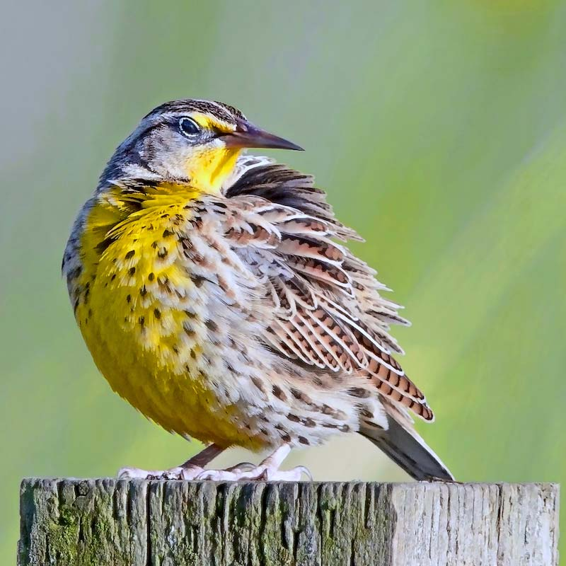 photo of Western Meadowlark.