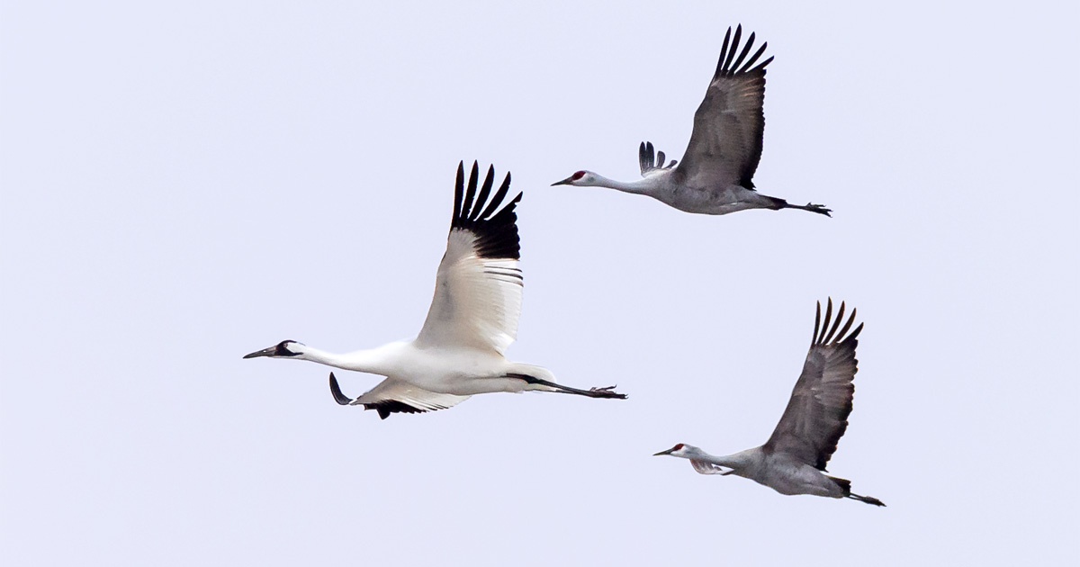 Why the Passenger Pigeon Went Extinct | Audubon