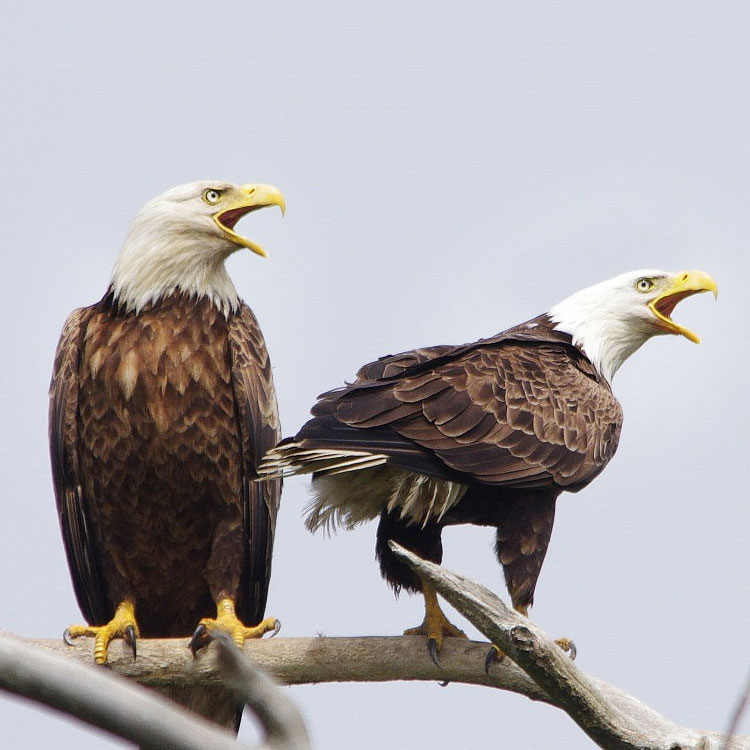 Become A Friend Of Eagles Audubon Florida Audubon Florida