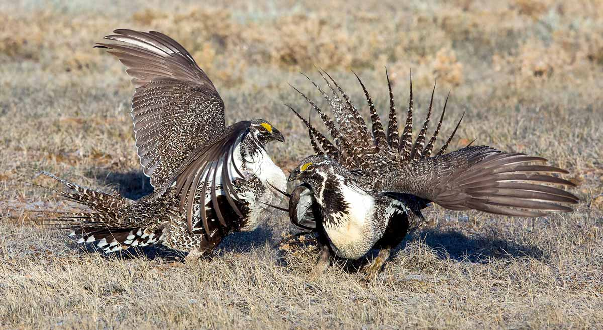 Wyoming Supports Sage-Grouse Conservation