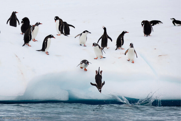 Chinstrap and Gentoo penguins fish on an iceberg off Half Moon Island.
