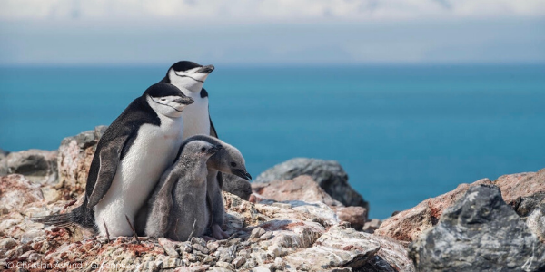 A Chinstrap Penguin family in Antarctica