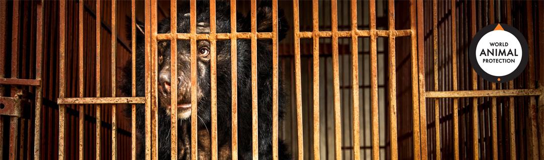 Imprisoned bear, photo credit World Animal Protection